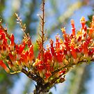 Southwest Ocotillo Bloom by Bo Insogna