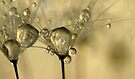 Drops Of Gold by Sharon Johnstone