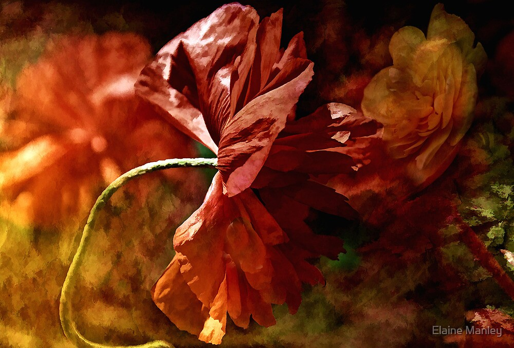 Poppy in the Wind by Elaine  Manley