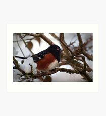 Spotted Towhee in the Snow Art Print
