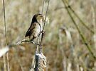 marsh wren by tego53