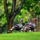 Golf Course Turkeys by Xcarguy