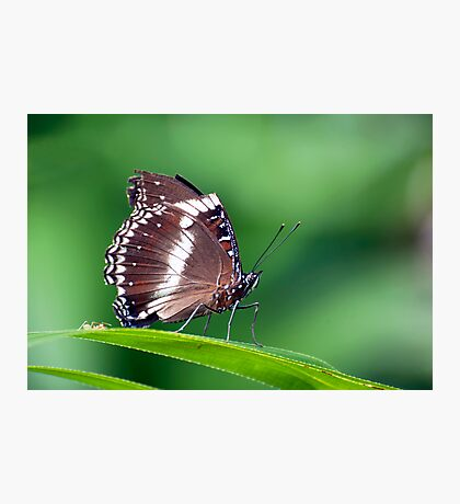 David and Goliath - butterfly  Photographic Print