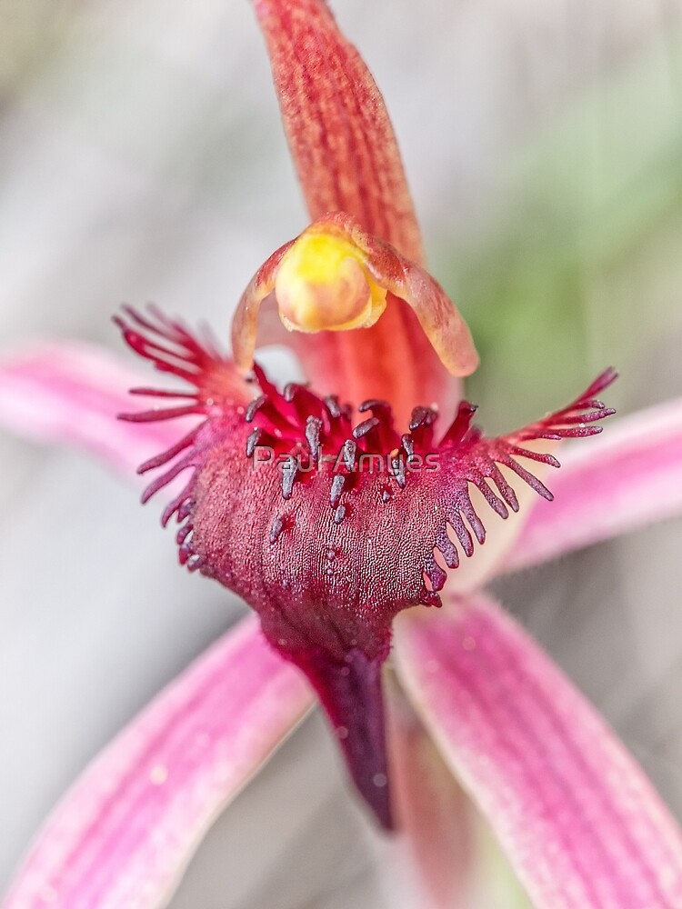 Tailed Spider Orchid by AmyesPhotograph
