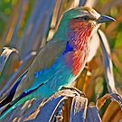 Botswana lilac breasted roller by Anthony Goldman