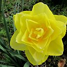 Double Yellow Daffodil by Bonnie Robert