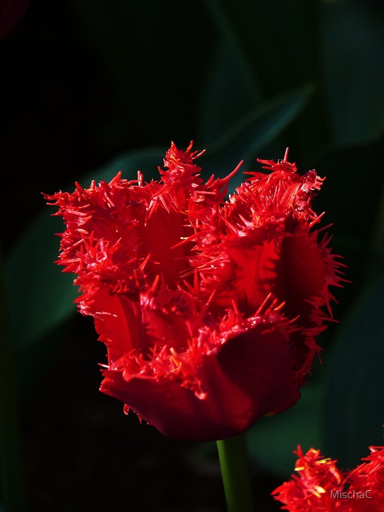 Fringed red tulip by MischaC