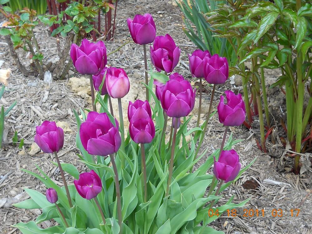 Purple Tulups by steeltrap
