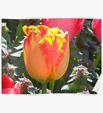 Organge and Yellow Tulup Poster