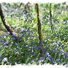 Bluebell Wood by cherryannette