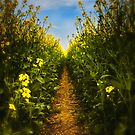 Rapeseed by MickHay
