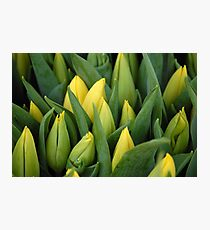Tulips - Yellow Photographic Print