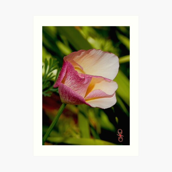 D1G1TAL-M00DZ ~ FLORAL California Poppy with Pink Accents by tasmanianartist Art Print