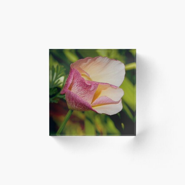 California Poppy with Pink Accents by tasmanianartist Acrylic Block