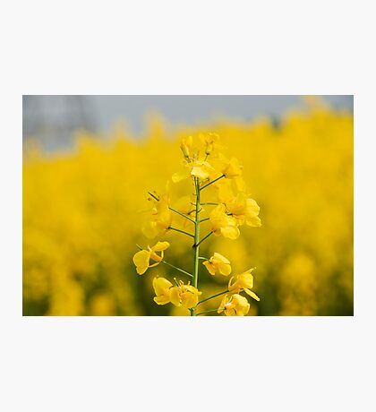 Rapeseed Field  Photographic Print