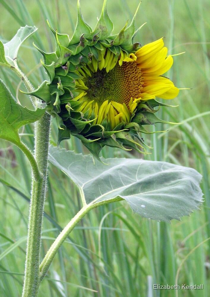 Sunflower by Elizabeth Kendall