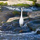 Little Egret - Wading for Dinner by RatManDude