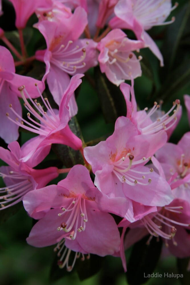 Rhododendron in the Pink by Laddie Halupa