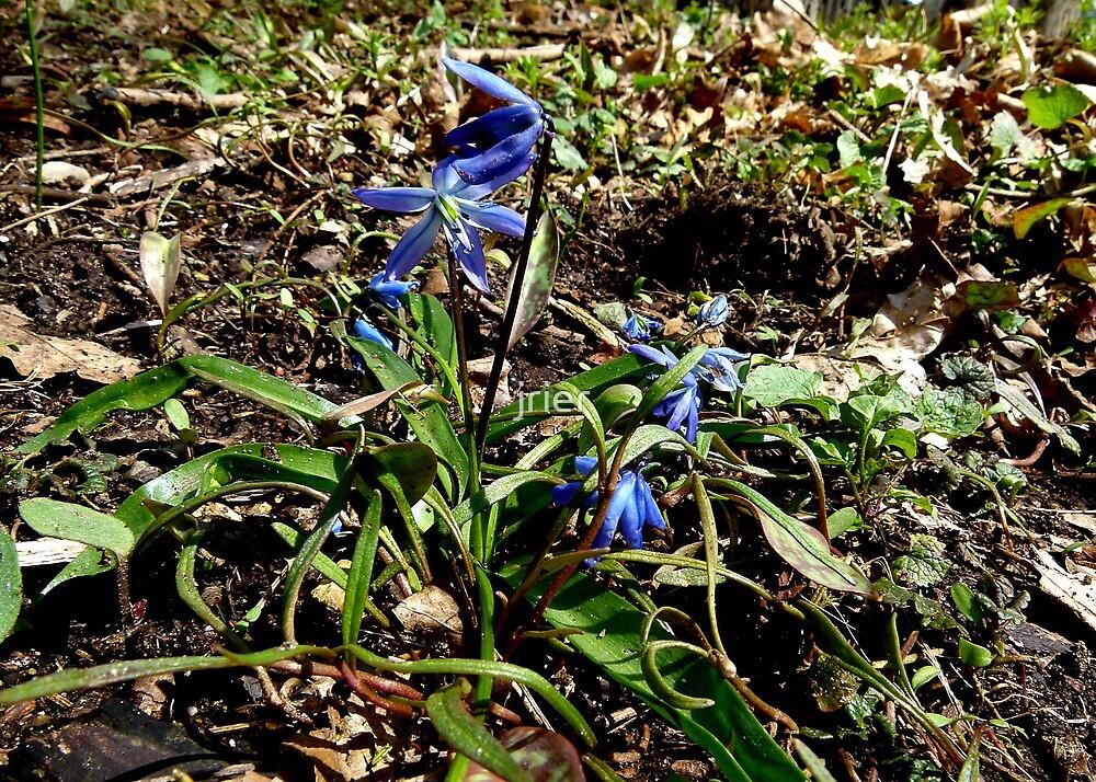 Blue wildflower by jrier
