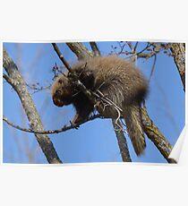 Spring Porcupine Poster