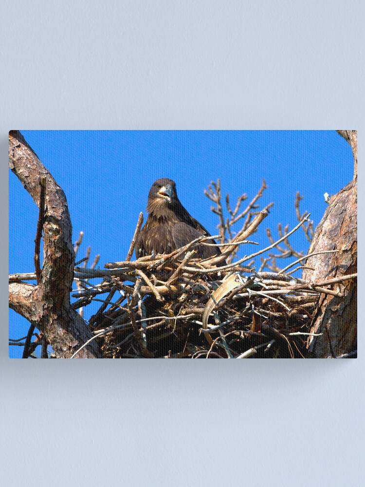 Alternate view of Fledgling Bald Eagle in Nest Canvas Print