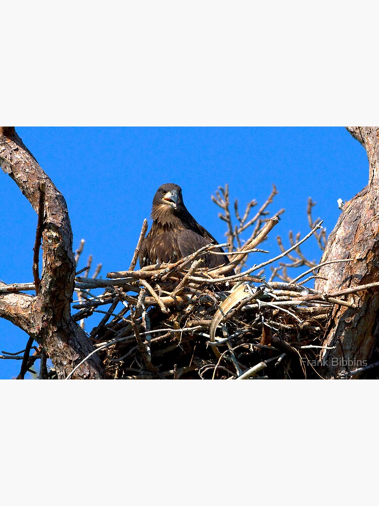 Fledgling Bald Eagle in Nest by organicman2