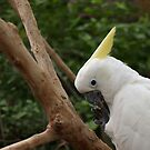 Cockatoo by Jay Armstrong