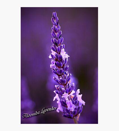 Aloomba Lavender Photographic Print