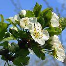 Apple Blossom by ienemien