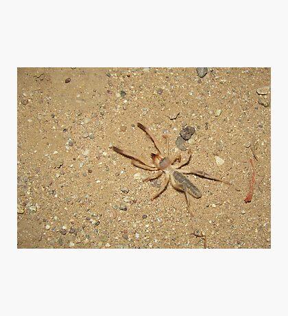 Sunspider (Windscorpion, Camel Spider) Photographic Print