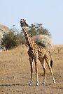 Maasai Giraffe, Serengeti National Park, Tanzania by Carole-Anne