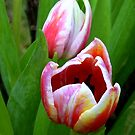 Two color Tulip by ienemien
