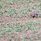 Red-legged Partridges by Yves Roumazeilles
