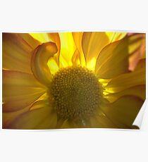 Sunflower, Backlit Poster