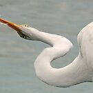 Great white egret  displaying its  fresh catch! by jozi1