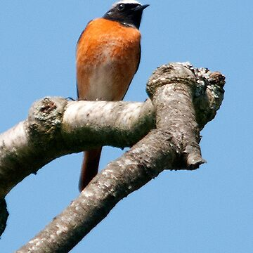 common redstart by Grandalf