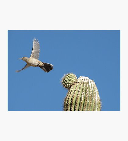 Curved-billed Thrasher ~ In Flight Photographic Print