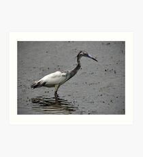 Juvenile Little Blue Heron Art Print