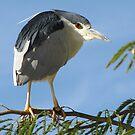 Black-crowned Night Heron by Kimberly Chadwick