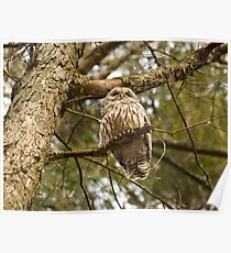 Exiting Barred Owl Poster