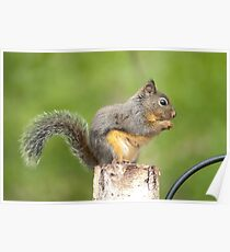 American Red Squirrel. Poster