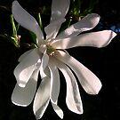 Magnolia by ienemien