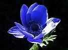 Blue Anemone by AnnDixon