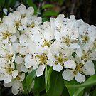 Pear tree blossom by Maria1606