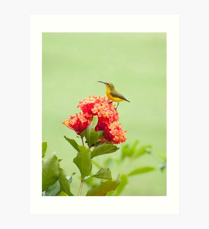 Little Sweety - yellow bellied sunbird Art Print
