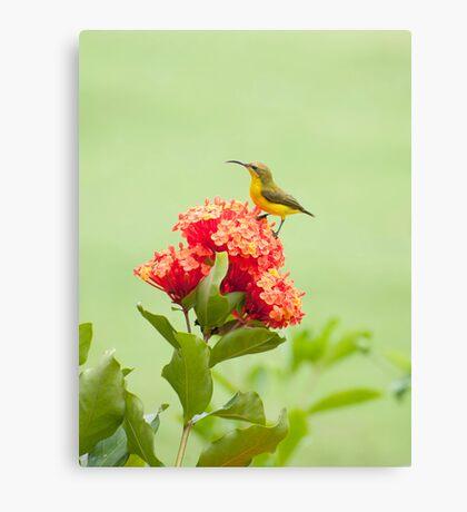 Little Sweety - yellow bellied sunbird Canvas Print