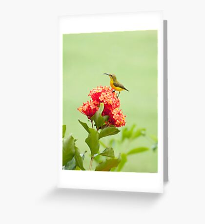 Little Sweety - yellow bellied sunbird Greeting Card