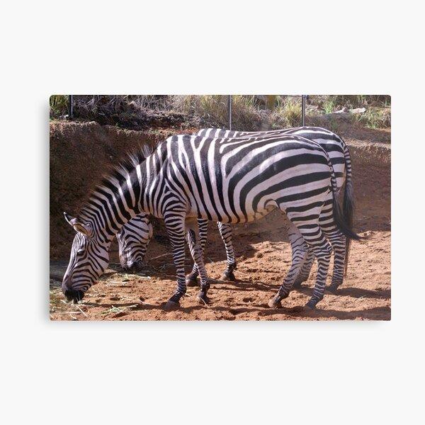 Zebra, Most Striped One of All Metal Print