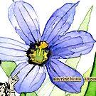 Sisyrinchium angustifolium (Pointed Blue-Eyed Grass) by Carol Kroll