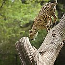Cheetah Leaping by ifreedman